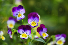 Tricolor Pansies. Tricolor pansy flower plant natural background, summer time Stock Image