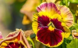 Tricolor pansy lub altówki tricolor kwiatonośna roślina z naturalnym tłem fotografia royalty free