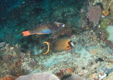 Tricolor parrotfish and Mimic surgeonfish. Fishes - Tricolor parrotfish, Scarus rubroviolaceus and Mimic surgeonfish, Acanthurus pyroferus swimming by coral reef stock photography