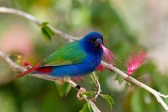 Tricolor parrot finch Stock Photos