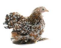Tricolor Pekin chicken Royalty Free Stock Photo