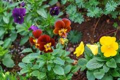 Tricolor pensé för altfiol, blomsterrabatt i hem- trädgård arkivbild