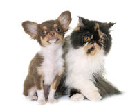 Tricolor persian cat and chihuahua. In front of white background stock photography