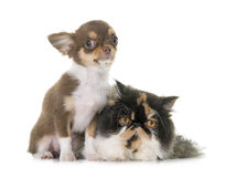 Tricolor persian cat and chihuahua. In front of white background royalty free stock photography
