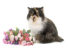 Tricolor persian cat. In front of white background stock images