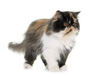 Tricolor persian cat. In front of white background royalty free stock photos