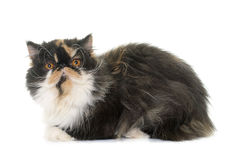 Tricolor persian cat. In front of white background royalty free stock images