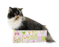 Tricolor persian cat. In front of white background stock photo