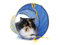 Tricolor persian cat in tunnel. Tricolor persian cat playing in front of white background royalty free stock photography