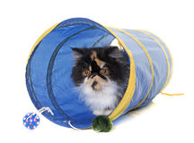Tricolor persian cat in tunnel. Tricolor persian cat playing in front of white background stock photography