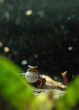 Tricolor poison dart frog Epipedobates tricolor Stock Photography