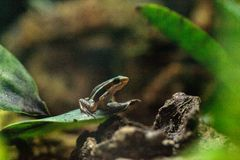 Tricolor poison dart frog Epipedobates tricolor. Also called the Phantasmal poison frog, is endemic to Ecuador Stock Image