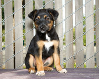 Tricolor puppy Cattle dog mix sitting on wood deck with fence background Stock Photography