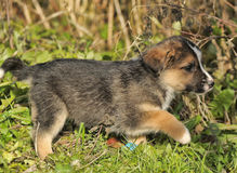 Tricolor puppy Royalty Free Stock Image