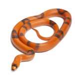 Tricolor Reverse Honduran milk snake Stock Photos