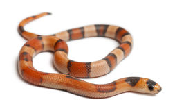 Tricolor Reverse Honduran milk snake Royalty Free Stock Photo