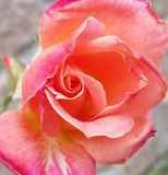 Tricolor Rose Royalty Free Stock Photography