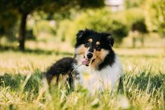 Tricolor Rough Collie Puppy, Funny Scottish Collie, Long-Haired. Collie, English Collie, Lassie Dog Playing In Green Grass royalty free stock photos