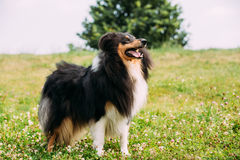 Tricolor Rough Collie, Scottish Collie, Long-Haired Collie Lassie. The Tricolor Rough Collie, Scottish Collie, Long-Haired Collie, English Collie, Lassie Adult Stock Photo