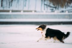 Tricolor Rough Collie, Scottish Collie, Lassie Dog Fast Running. Tricolor Rough Collie Funny Scottish Collie, Long-Haired Collie, English Collie, Lassie Dog Fast royalty free stock photo