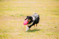 Tricolor Scottish English Rough Long-Haired Collie Lassie Adult. The Tricolor Rough Collie, Scottish Collie, Long-Haired Collie, English Collie, Lassie Adult Dog Stock Photography