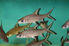 Tricolor shark fish. Close up tricolor shark fish in a aquarium Royalty Free Stock Images