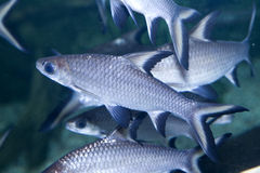 Tricolor sharks. Close up tricolor sharks  in a aquarium Royalty Free Stock Photography