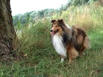 Tricolor Sheltie Royalty Free Stock Image