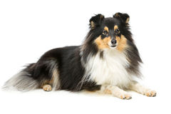 Tricolor sheltie dog. Tricolor beautiful sheltie dog isolated over white background. Copy space Royalty Free Stock Photography
