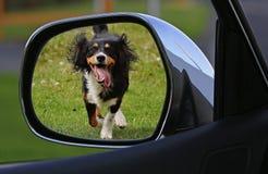 Tricolor Short Coat Dog Running Royalty Free Stock Photo