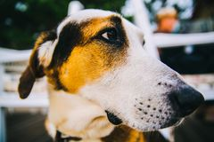 Tricolor Short-coated Dog in Close Up Photography Stock Photos