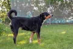 Tricolor sk?lla f?r appenzellerberghund som ?r utomhus- arkivbilder