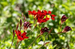 Red sparaxis in the meadow Royalty Free Stock Photo