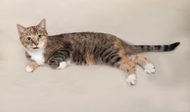 Tricolor striped cat sitting on gray Stock Image