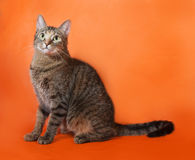 Tricolor striped cat sitting on orange Royalty Free Stock Images