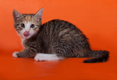 Tricolor striped kitten sitting nd licked on orange Stock Photography