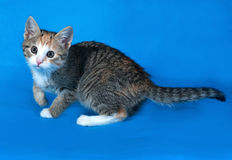 Tricolor striped kitten standing on blue. Background Royalty Free Stock Image