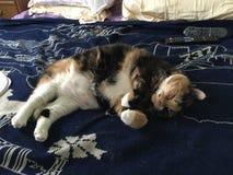 Tricolor svart orange vit katt som sover på säng Royaltyfri Bild