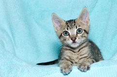 Tricolor tabby kitten laying on aqua teal blanket Stock Photography