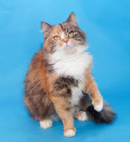 Tricolor thick fluffy cat on blue Royalty Free Stock Photography