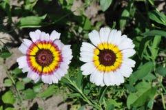 Tricolor tusensköna Fotografering för Bildbyråer