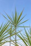 Tricolor växt Fotografering för Bildbyråer