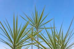 Tricolor växt Royaltyfria Foton