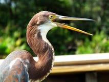 Tricolor van Egretta van de Tricoloredreiger stock foto's