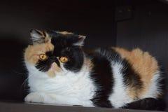 Tricolor van kattenðµxotics Royalty-vrije Stock Foto's
