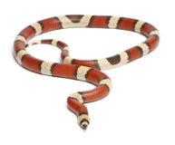 Tricolor vanishing Honduran milk snake. Lampropeltis triangulum hondurensis, in front of white background Royalty Free Stock Photo