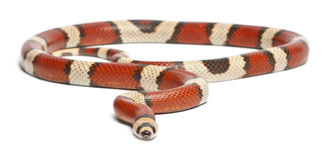 Tricolor vanishing Honduran milk snake Stock Photos