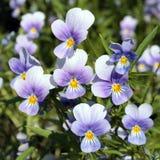 Tricolor Viola (άγριος pansy) Στοκ Φωτογραφίες