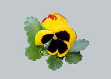 Tricolor Viola σε ένα γκρίζο υπόβαθρο Στοκ Εικόνες