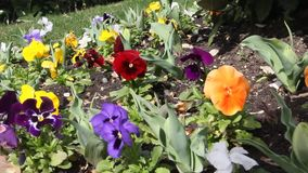 tricolor viola arkivfilmer